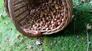 En halvtimmes samling ger ekollon till flera bröd